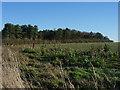 TL5754 : Old Cambridge Road Plantation by Hugh Venables