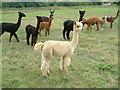 SP4043 : Alpacas near Horley by Chris Beach