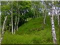 SK2479 : Scenery of Silver birch in Bolehill Quarry near Grindleford by James Haynes