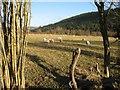 SO1584 : Sheep pasture by Jonathan Wilkins