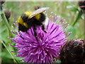 NH3405 : Bee on a thistle by Dannie Calder