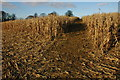 SP4222 : Maize crop at Glympton by Philip Halling