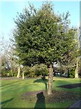 SJ9090 : Holly Tree in Vernon Park by Gerald England