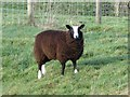 NY8871 : Zwartble sheep on Hadrian's Wall near Milecastle 29 by Mike Quinn