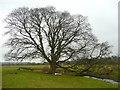 NY5540 : Boundary tree, Kirkoswald by Humphrey Bolton
