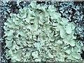 NS3978 : A lichen - Flavoparmelia caperata by Lairich Rig