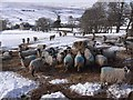NY7541 : Sheep at High Windy Hall. by Oliver Dixon
