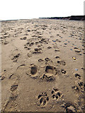 TA4115 : Foot and Dogprints on Kilnsea Beach by Andy Beecroft