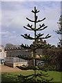NZ0878 : Monkey puzzle at Belsay Castle by Oliver Dixon