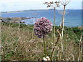 SW8734 : Allium sp - view towards Nare Head and Gull Rock by Ian Cunliffe