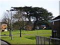 SU8666 : Cedar tree, Lydney, Hanworth by don cload