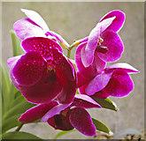 TQ1877 : Orchids, Kew Gardens, Surrey by Christine Matthews