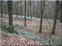 ST2214 : Snowdrop wood, near Otterford by Roger Cornfoot