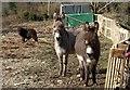 SW6842 : Donkeys near Great South Tolgus Mine by Derek Harper
