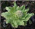 NJ2758 : Giant Butterbur (Petasites japonicus) by Anne Burgess