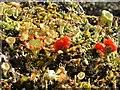 NS3678 : A lichen - Cladonia diversa by Lairich Rig