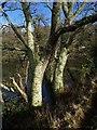 SX4157 : Trees by Marsh Combe by Derek Harper