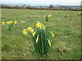 SW7533 : Daffodils growing wild by Graham Loveland