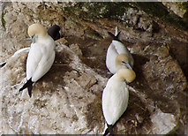 TA1974 : Gannets on Bempton Cliffs by JThomas