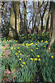 TL8062 : Daffodils in Ickworth Park by Bob Jones
