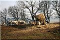 NY8446 : Ewes feeding by Helen Wilkinson