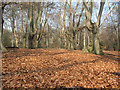 TQ4298 : Epping Forest: carpet of beech leaves by Stephen Craven