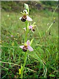 NZ3332 : Bee Orchid (Ophrys apifera) at Bishop Middleham Quarry SSSI by Andrew Curtis