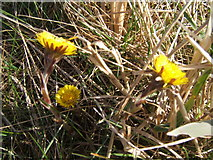 NU0052 : Coltsfoot in the sun by Barbara Carr