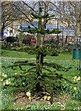 TQ3179 : Monkey Puzzle Tree by PAUL FARMER