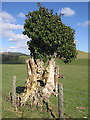 SH7806 : Tree trunk taken over by ivy by Rudi Winter