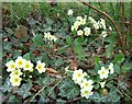 NT9239 : My first primroses of 2009 by Barbara Carr