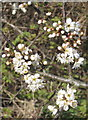 SW4337 : Blossom of Blackthorn (Prunus spinosa) by Rod Allday