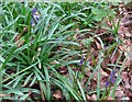SP8909 : The First Bluebells of the year in Wendover Woods by Chris Reynolds