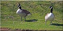 TL3706 : Geese by John Salmon