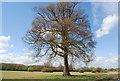 TQ4944 : Oak tree south of Hill Hoath by N Chadwick