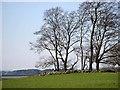 NY9876 : Trees on tumulus near Hallington by Joan Sykes