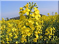 TM3666 : Oilseed Rape by Adrian Cable