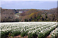 SW8041 : A field of white narcissus near Playing Place by Fred James