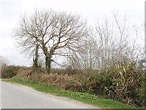 T0025 : Slashed hedge and roadside tree, Crossabeg by David Hawgood