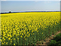TG2425 : Oilseed rape by Evelyn Simak