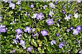 NR7487 : Periwinkle (Vinca major) by Anne Burgess