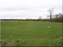T0613 : Sheep on pasture near Killinick by David Hawgood