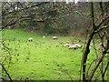 SN1421 : Sheep, Felin Cwrt, Login by welshbabe