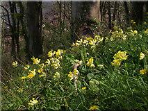 SX9364 : Cowslips, Bishop's Walk by Derek Harper