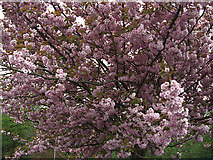SD9100 : Cherry blossom by michael ely
