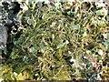 NS3680 : A lichen - Bryoria fuscescens by Lairich Rig