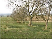 NY9569 : Trees marking a field boundary north of Hadrian's Wall by Mike Quinn