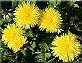NJ3160 : Dandelions (Taraxacum officinale) by Anne Burgess