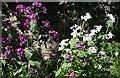 NJ2156 : Honesty (Lunaria annua) by Anne Burgess