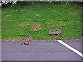 NH6945 : Car park bunnies by Richard Dorrell